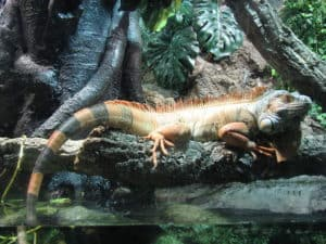 1024px-iguana_aquarium_barcelona