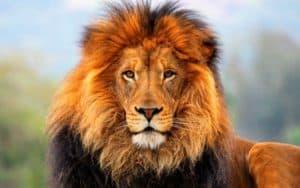 _185_2560x1600_lion