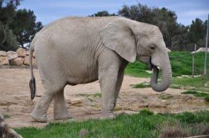 elephant-sigean