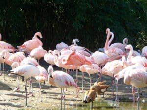 rozovyi_flamingo